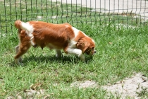 Dodi-Cavalier-Banksia Park Puppies - 15 of 23