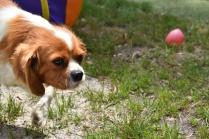 Dodi-Cavalier-Banksia Park Puppies - 17 of 23