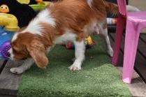 Dodi-Cavalier-Banksia Park Puppies - 19 of 23