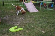 Dodi-Cavalier-Banksia Park Puppies - 2 of 23
