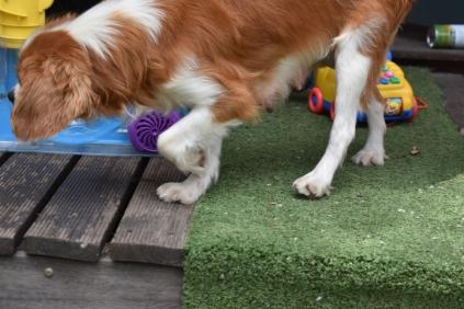 Dodi-Cavalier-Banksia Park Puppies - 20 of 23
