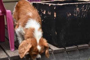 Dodi-Cavalier-Banksia Park Puppies - 21 of 23