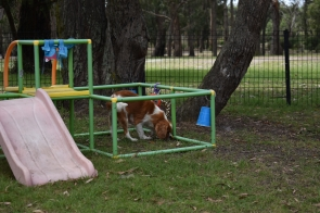 Dodi-Cavalier-Banksia Park Puppies - 23 of 23