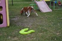 Dodi-Cavalier-Banksia Park Puppies - 3 of 23