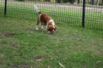 Dodi-Cavalier-Banksia Park Puppies - 4 of 23
