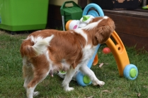 Dodi-Cavalier-Banksia Park Puppies - 7 of 23
