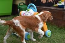 Dodi-Cavalier-Banksia Park Puppies - 8 of 23