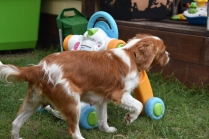 Dodi-Cavalier-Banksia Park Puppies - 8 of 23
