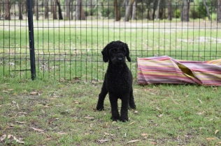 Poppie-Poodle-Banksia Park Puppies - 10 of 29