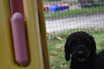 Poppie-Poodle-Banksia Park Puppies - 12 of 29