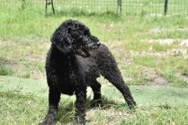 Poppie-Poodle-Banksia Park Puppies - 13 of 29