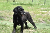 Poppie-Poodle-Banksia Park Puppies - 14 of 29