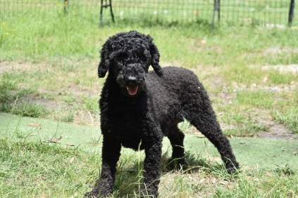 Poppie-Poodle-Banksia Park Puppies - 15 of 29