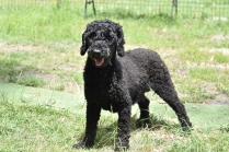Poppie-Poodle-Banksia Park Puppies - 16 of 29