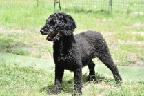 Poppie-Poodle-Banksia Park Puppies - 17 of 29