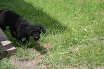 Poppie-Poodle-Banksia Park Puppies - 18 of 29