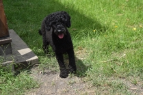 Poppie-Poodle-Banksia Park Puppies - 19 of 29