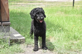 Poppie-Poodle-Banksia Park Puppies - 21 of 29
