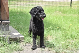 Poppie-Poodle-Banksia Park Puppies - 22 of 29