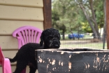 Poppie-Poodle-Banksia Park Puppies - 27 of 29