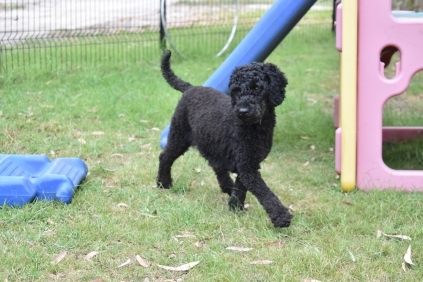 Poppie-Poodle-Banksia Park Puppies - 4 of 29