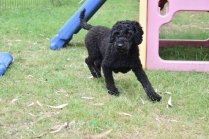 Poppie-Poodle-Banksia Park Puppies - 5 of 29