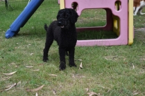 Poppie-Poodle-Banksia Park Puppies - 6 of 29
