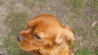 Rosebud-Cavalier-Banksia Park Puppies - 1 of 16