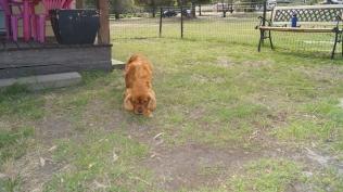 Rosebud-Cavalier-Banksia Park Puppies - 12 of 16