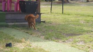 Rosebud-Cavalier-Banksia Park Puppies - 14 of 16