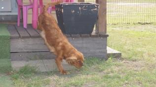Rosebud-Cavalier-Banksia Park Puppies - 16 of 16