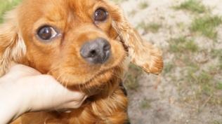 Rosebud-Cavalier-Banksia Park Puppies - 3 of 16