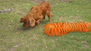 Rosebud-Cavalier-Banksia Park Puppies - 4 of 16