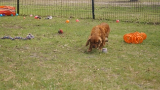 Rosebud-Cavalier-Banksia Park Puppies - 5 of 16