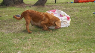 Rosebud-Cavalier-Banksia Park Puppies - 8 of 16