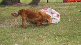 Rosebud-Cavalier-Banksia Park Puppies - 8 of 16