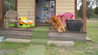 Zana-Cocker Spaniel-Banksia Park Puppies - 1 of 16
