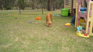 Zana-Cocker Spaniel-Banksia Park Puppies - 10 of 16