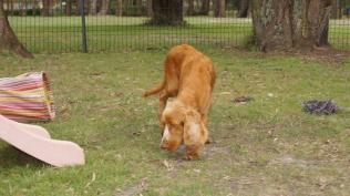 Zana-Cocker Spaniel-Banksia Park Puppies - 11 of 16