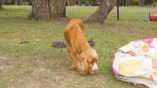 Zana-Cocker Spaniel-Banksia Park Puppies - 13 of 16