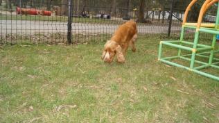 Zana-Cocker Spaniel-Banksia Park Puppies - 2 of 16