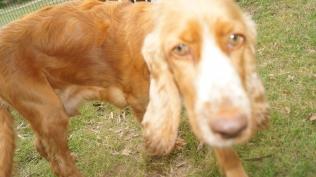 Zana-Cocker Spaniel-Banksia Park Puppies - 4 of 16