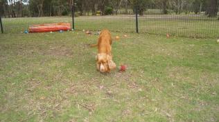 Zana-Cocker Spaniel-Banksia Park Puppies - 5 of 16