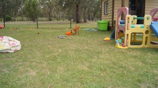 Zana-Cocker Spaniel-Banksia Park Puppies - 6 of 16