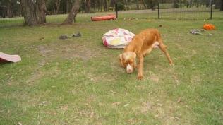 Zana-Cocker Spaniel-Banksia Park Puppies - 7 of 16