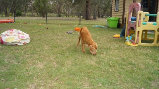Zana-Cocker Spaniel-Banksia Park Puppies - 8 of 16
