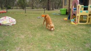 Zana-Cocker Spaniel-Banksia Park Puppies - 9 of 16