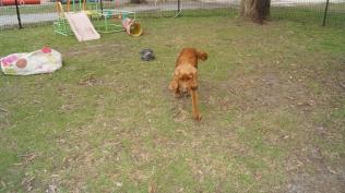 Zara-Cocker Spaniel-Banksia Park Puppies - 10 of 24