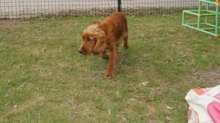 Zara-Cocker Spaniel-Banksia Park Puppies - 18 of 24