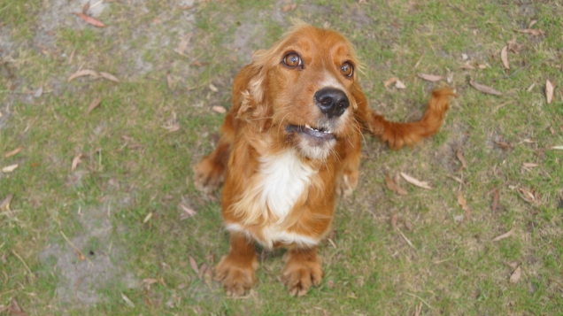 Zara-Cocker Spaniel-Banksia Park Puppies - 22 of 24